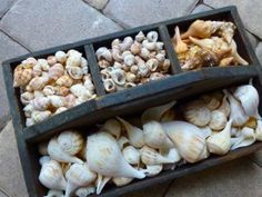 seashells in antique tool box