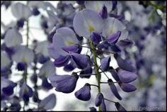 [2012 - Gulpilhares, Gaia - Portugal] #fotografias #flor #flores #flower #flowers