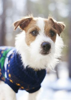 One day, I shall own a scruffy terrier. And he will wear sweaters and jackets to  my hearts content. :-D