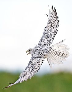 White Gyrfalcon (Falco rusticolus) considered to be the largest of the falcon species