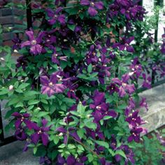 Tips for Pruning Clematis Vines from Wayside Gardens / click on picture for full instructions ...