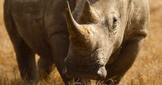 This keystone species plays an important role in the ecosystem Keystone Species, Rhinos, Extinct, Conservation, Plays, Elephant, Change, Animals, Games