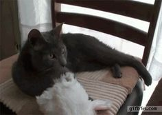 Cat puts on bunny hat