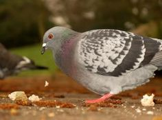 pigeon dropping