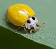 Resultado de imagem para albino ladybug