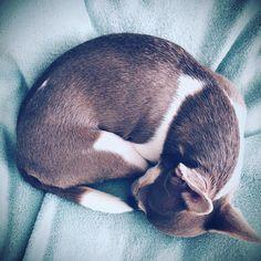 #luxuriousdog  #luxurydogs #luxurypets #puppy #puppies #sleepingbeauty #sleepingdogs Sleeping Puppies, Dog Modeling, Dog Bows, Sister Wedding, Brand Ambassador, Dog Accessories, Pet Toys, Chihuahua, Boston Terrier
