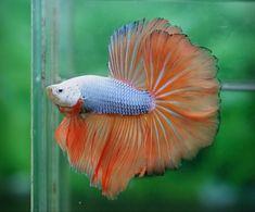 Blue and orange betta ... so pretty.
