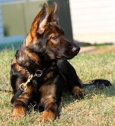 GSD - Pinning this after pinning the last two dogs is just...so sad. Look at how a GS is supposed to look...so strong and healthy and majestic and beautiful...