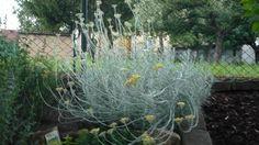 smil italský Helichrysum - obrázek k diskusi níže