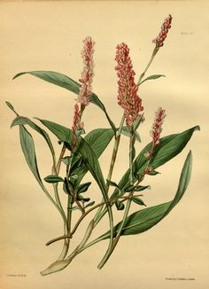Bistorta affinis (D.Don) Greene, syn. Polygonum affine D. Don, Persicaria affinis (D. Don) Ronse Decr., Polygonum brunonis Wall. From: Paxton's Flower Garden, volume 3, plate 37 Author: AuthorJohn Lindley and Joseph Paxton, drawing by L. A. L. Constans