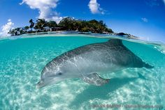 Roatan, Bay Islands, Honduras - dolphin swimming in crystal clear blue water. Vacation Places, Dream Vacations, Vacation Spots, Places To Travel, Places To See, Vacation Ideas, Roatan Honduras, Honduras Travel, Belize