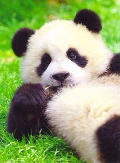Pandas are my favorite animals in the whole wide world. their just so cute. Cute Baby Animals, Funny Animals, Animals And Pets, Wild Animals, Beautiful Creatures, Animals Beautiful, Photo Panda, Panda Facts, Panda Mignon
