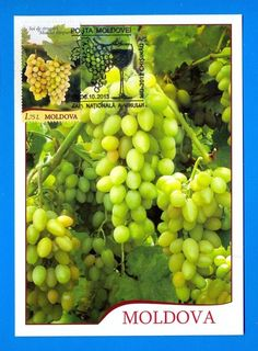 MOLDOVA. Maximum Card. National Wine Day / 2013. Special Cancellation