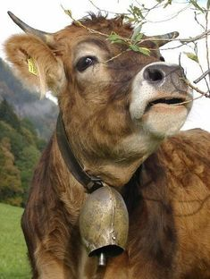 Now this is a cow bell! Farm Animals, Animals And Pets, Cute Animals, Cow Pictures, Animal Pictures, Cow Photos, Cows Mooing, Happy Cow, Cow Painting