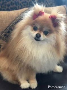 Pomeranian Puppy Cut 3989 Princess Peach 💗 Pomeranian Show Toy Pomeranian Puppies, Pomeranian Colors, Spitz Pomeranian, Teacup Pomeranian, Cute Puppies, Cute Dogs, Dogs And Puppies, Pomeranians, Funny Dogs