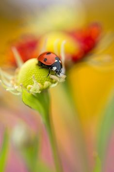 Flower lady - Close up of a Ladybird resting on a flower
