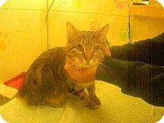 Philadelphia, PA - Domestic Shorthair. Meet Bobert Sponge, a cat for adoption. http://www.adoptapet.com/pet/17282282-philadelphia-pennsylvania-cat