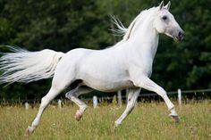 Lipizzan Horse Info, Origin, History, Pictures | Horse Breeds ...