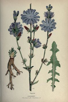 Farm Weeds of Canada n262_w1150 by BioDivLibrary, via Flickr