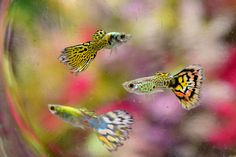 Keep and Breed Fancy Guppies: Food, Salt and More