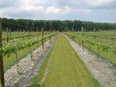 Starting a vineyard