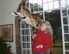 Giraffe Kiss Thats just precious.