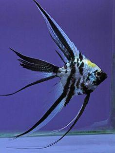 Blue marble platinum veil Saltwater Aquarium Fish, Tropical Fish Aquarium, Tropical Fish Tanks, Tropical Freshwater Fish, Freshwater Aquarium Fish, Felt Fish, Paludarium, Angel Fish, Beautiful Fish