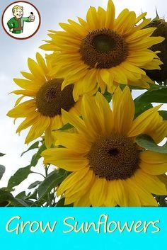 Home Grown Sunflowers Pinterest