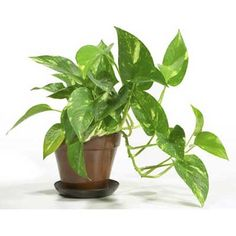easy houseplants common house plantsidentifying - Identifying Common House Plants