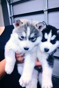 husky puppies   too cute I've been wanting a husky since I was a kid