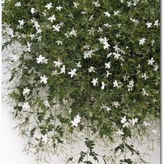 Damascus Jasmine <3  Mike's favorite flower in the world. I will find a way to have this at our wedding.