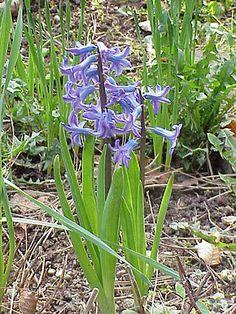 Hyacinthus est un genre de plantes bulbeuses, anciennement classées dans la famille des Liliaceae et qui désigne la véritable espèce jacinthe (par distinction de l'espèce scille). Elle fait désormais partie de la famille des Asparagaceae. Le nom vient de la mythologie grecque : Hyacinthe fut tué accidentellement par le dieu Apollon, celui-ci transforma alors les gouttes de sang en fleurs.