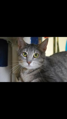 Hi! My name is Raya. I'm an adorable little girl that enjoys watching everything from afar. I like to spend my time hidden out in the cat room on a nice warm bed or under the cages. I would do best in a quiet home that don't mind giving me some time to come out of my shell. If you're looking for a feline friend, stop out and meet me.