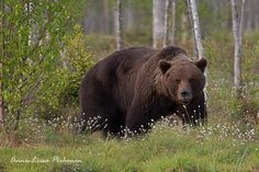The Brown Bear by Anna-Liisa Pirhonen near small lake in Kuhmo, near Russian border in Finland. Chief Dan George, Small Lake, Animal 2, Brown Bear, Finland, Wildlife, Creatures, Teddy Bear, Anna