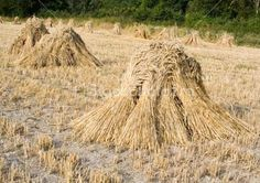 How To Grow & Harvest Wheat By Hand - http://www.ecosnippets.com/gardening/how-to-grow-harvest-wheat-by-hand/