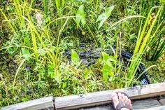 Alligator by the trail in Jean Lafitte National Park New Orleans Swamp