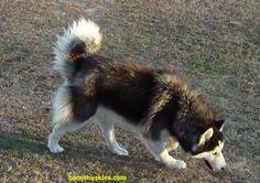 Husky Puppies For Sale « Bama Huskies