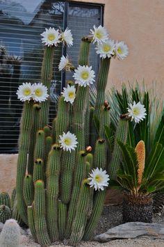 Duane's Garden: Echinopsis spachiana