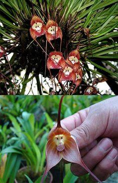 orchis simia.. o flor del simio, es una planta que imita la cara y cuerpo de los simios, y tambien imita su olor: huele a excremento humano.