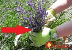 Our traditional lavender harvest sickle has a Herb Garden, Home And Garden, Kraut, Harvest, Herbalism, Herbs, Gardening, Pergola, Vegetables