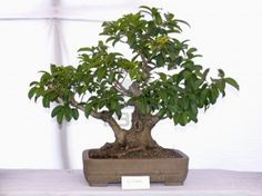 How to take care of a ficus bonsai tree click here right now to see for yourself how to take care of a ficus bonsai tree #stepbystep