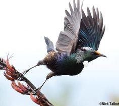 Tui (Prosthemadera novaeseelandiae) A bird taking off after feeding on a flax plant.