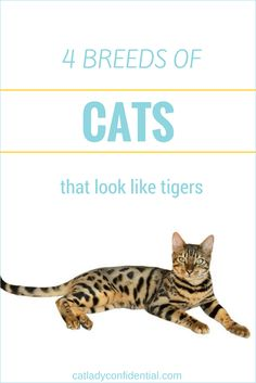 4 breeds of domestic cats that look like tigers