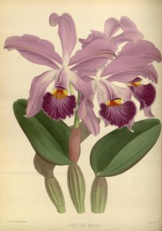 Cattleya whitei. Orchid album :comprising coloured figures and descriptions of new, rare and beautiful orchidaceous plants 1884  London :B. S. Williams,1882-97.  Biodiversitylibrary. Biodivlibrary. BHL. Biodiversity Heritage Library