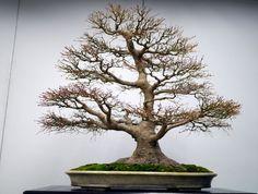 モミジ盆栽-japanese-maple-bonsai-tree-008.JPG
