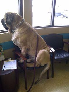 Большие-пребольшие собаки, которые думают, что они маленькие - 12