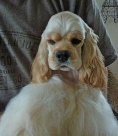 American Cocker Spaniel Pup ~ Classic Cocker Look & Trim