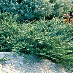 Juniperus horizontalis 'Wiltonii'  Blue Rug Juniper - front bed