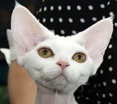 perfect devon head. gorgeous cat.