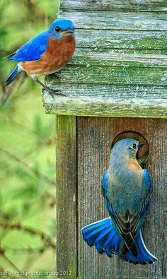 .Bluebird couple ~ sweet